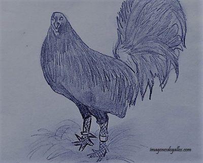 Pin en Bocetos de animales, dibujos de Un Gallo De Pelea, como dibujar Un Gallo De Pelea paso a paso