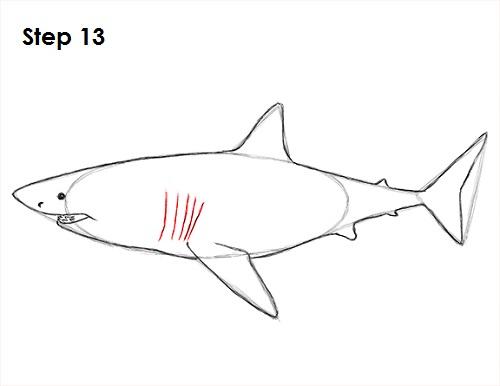 Dibujar gran tiburón blanco 13